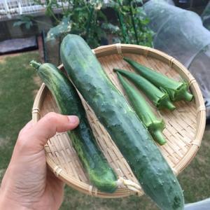 まだまだ続く夏の収穫 と リトルカブで初出勤