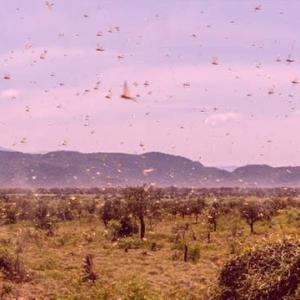 中国・広西チワン族自治区でイナゴが大量発生 世界的な食糧危機の恐れ近づくリバティーweb