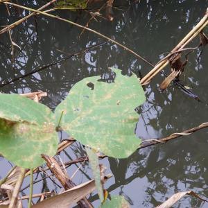 手賀沼の小さなタナゴ達を釣るんじゃけ