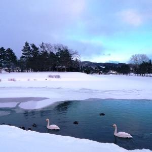 今年も白鳥がきた北見市「常盤公園」