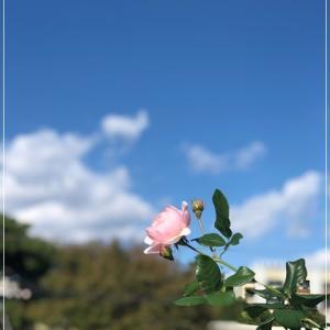 秋薔薇と新しいレッスン