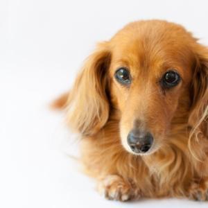 【M.ダックスフンド】椎間板ヘルニアと膀胱炎の病歴がある場合のペット保険の選び方