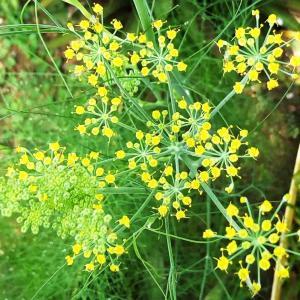 【フェンネル:Fennel】 花が咲きました! 実生栽培4ヶ月