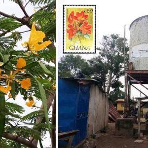 世界3大花木の【ホウオウボク-黄色】&【カエンボク】咲きました!