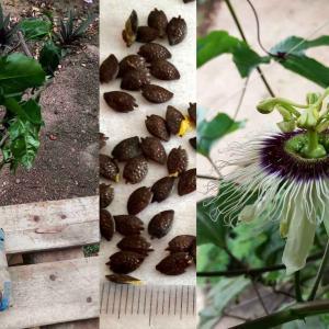 ガーナで花が咲きました。 【パッションフルーツ】 苗木&実生栽培