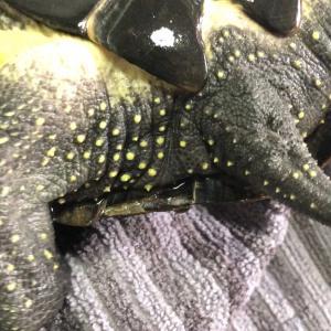 クサガメの甲羅が剥がれてから1ヶ月