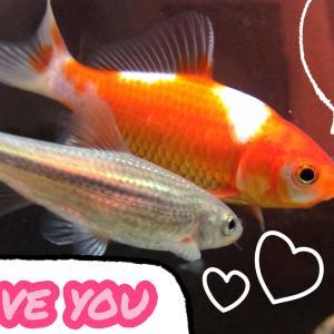 追いかけてキスをする魚