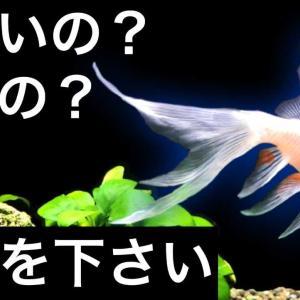 金魚の奇形とエラと泡