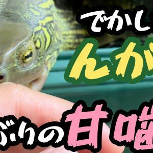 【遅報w】クサガメ爆食!