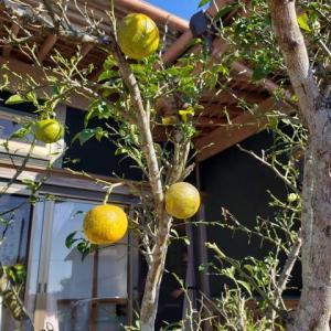柚子も黄色に