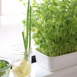 水耕栽培*リボベジ小松菜と種まき