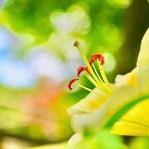 箱崎宮の花庭園から黄色いゆり