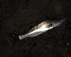 2020-08-10 釣行記録_名取川_シーバス