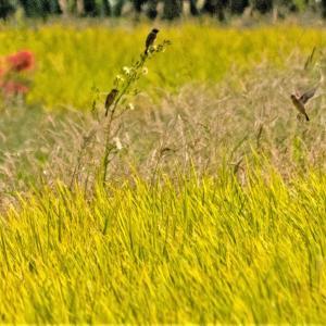 黄金の田にノビタキ