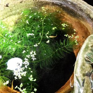 メダカの稚魚とグリーンウォーター