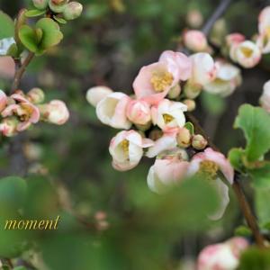 昨春のボケの花
