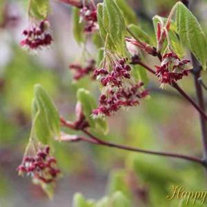 楓の花とプロペラ