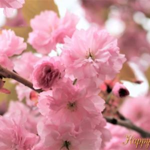 2020 サトザクラ・八重桜