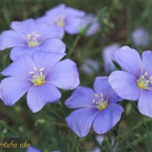涼しげな青い花