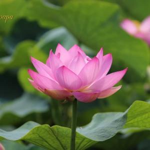 2020 池に咲く清らかな花
