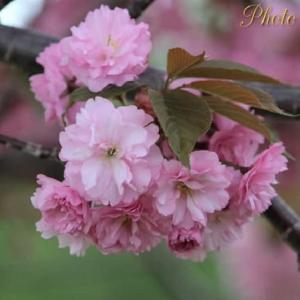 2021 八重桜