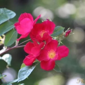 2021 薔薇の花🌹