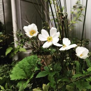 待望の涼風と共に〜シュウメイギク(秋明菊)が開花。