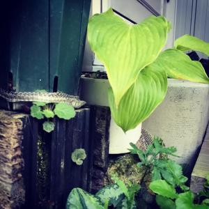 玄関前山野草コーナーにめちゃくちゃでっかい蛇の抜け殻がΣ(゚д゚;)