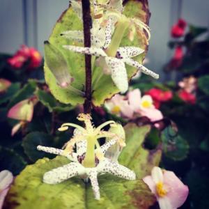 玄関前山野草コーナー:ヤマジノホトトギスが開花!2019年9月。