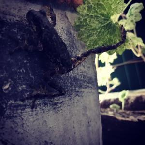 強風吹き荒れる庭とベランダで泰然自若のアマガエル達。プラス〜マダニ死亡情報。
