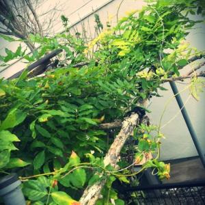 ゆるりと藤の実生に挑戦中〜幼苗は元気に夏越しです。