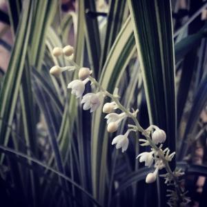 スノードラゴンの白く可憐な花〜実は今日までオリヅルランでした。