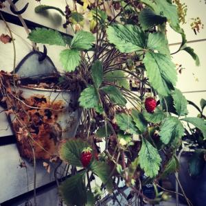 サビサビ缶に住まうワイルドストロベリー。白、赤、緑、サビのコラボ。