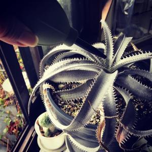 Gardening tips/hack〜ロゼット型植物の中心部のゴミの取り方。