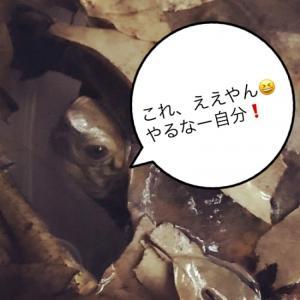 イシガメの冬越し対策&落ち葉大量投入〜カメきち in da house。