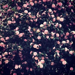 full bloom 満開!そこだけピンク〜乙女椿。