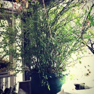 ベランダガーデン2020〜ミニバラ「みさき」ジャングル化。