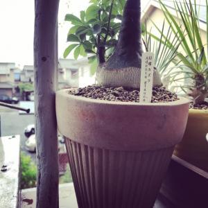 ベランダガーデン〜流木支柱と植替え用プーリー:アデニアグラウカ植替え。
