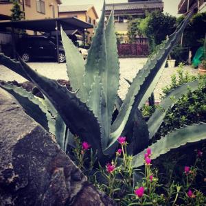 アガベ・アメリカーナ(Agave americana)門アガベとしての風格。