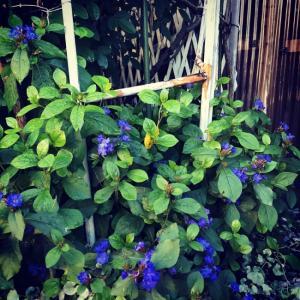 ジャンクガーデン:物置小屋の前のアプローチ〜ルリマツリモドキが涼感を呼ぶ。