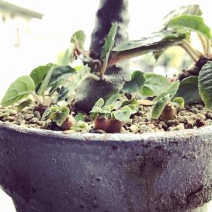 塊根植物:ドルステニア・フォエチダ2020年子株も育つ夏。