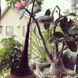 塊根:アデニウム・アラビクム(砂漠のバラ)花付きが良くなる方法。