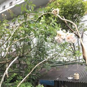 ビーチでGetした流木を使って、つる薔薇フェリシアを誘引〜2020年夏。