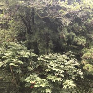 冬季無人集落:旧根尾村「越波」〜春日神社の大フジと越波の謎植物。