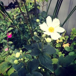 間違いない!秋明菊は涼しさを伴って開花する。