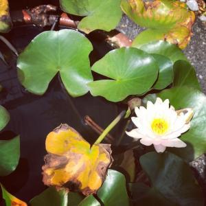 動きをとめた8月の睡蓮、9月に入りおもむろに咲く!