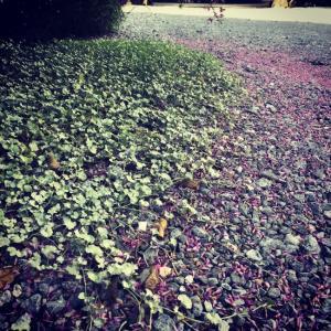 緑と紫〜初秋の庭で侘び寂びを見た:宮城野萩落花。