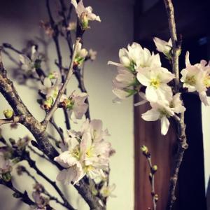 枝ものでプラスα〜いわゆる寒桜「真冬に桜を愛でるキッチン」。