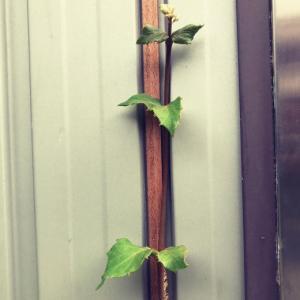 金属系サイディング壁にマホガニー材を貼り付け蔓アジサイを誘引。