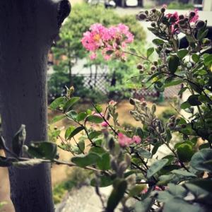 ベランダの百日紅(サルスベリ)が2年ぶりに開花。